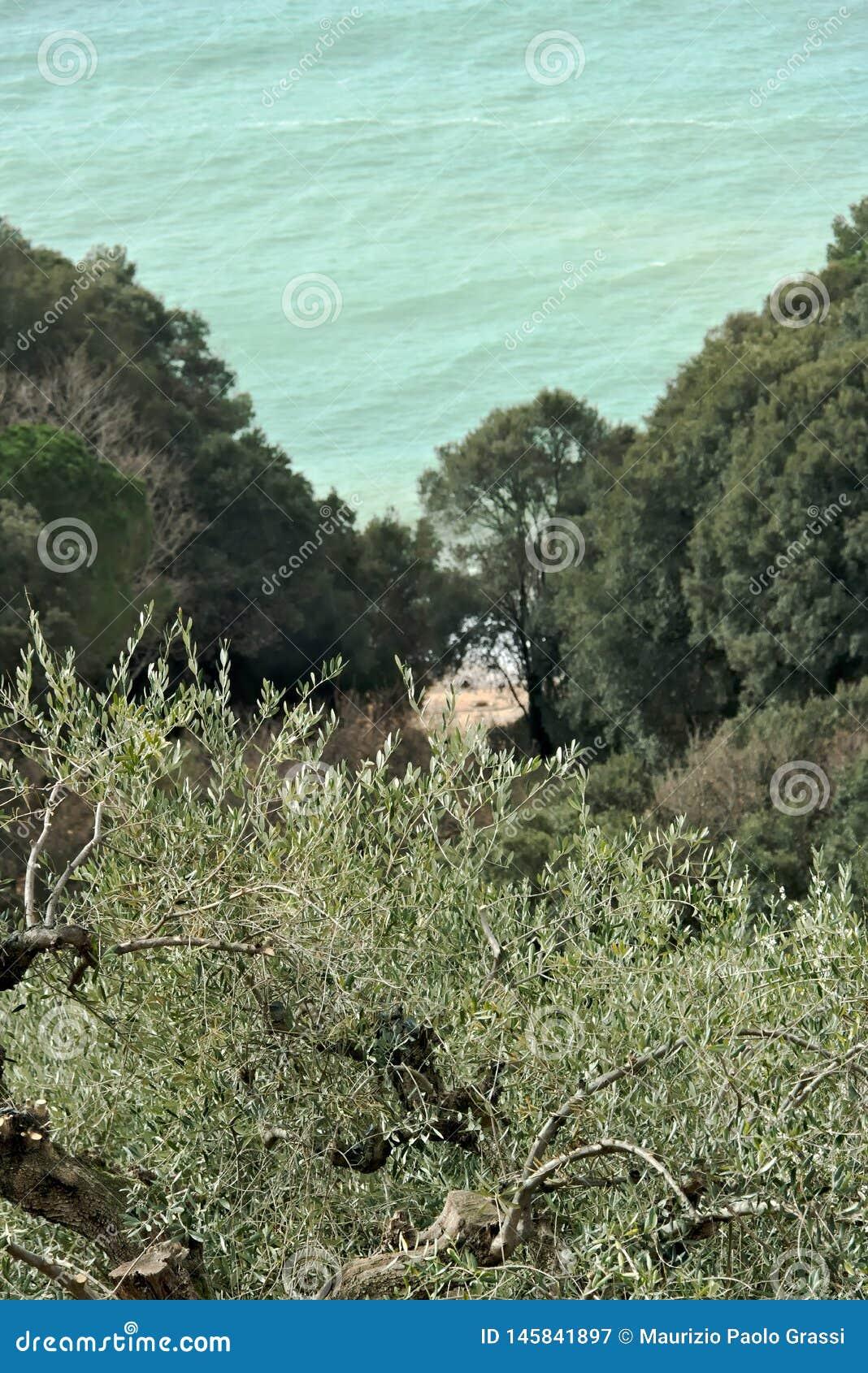 Olivenbaum im Garten auf dem Ligurischen Meer