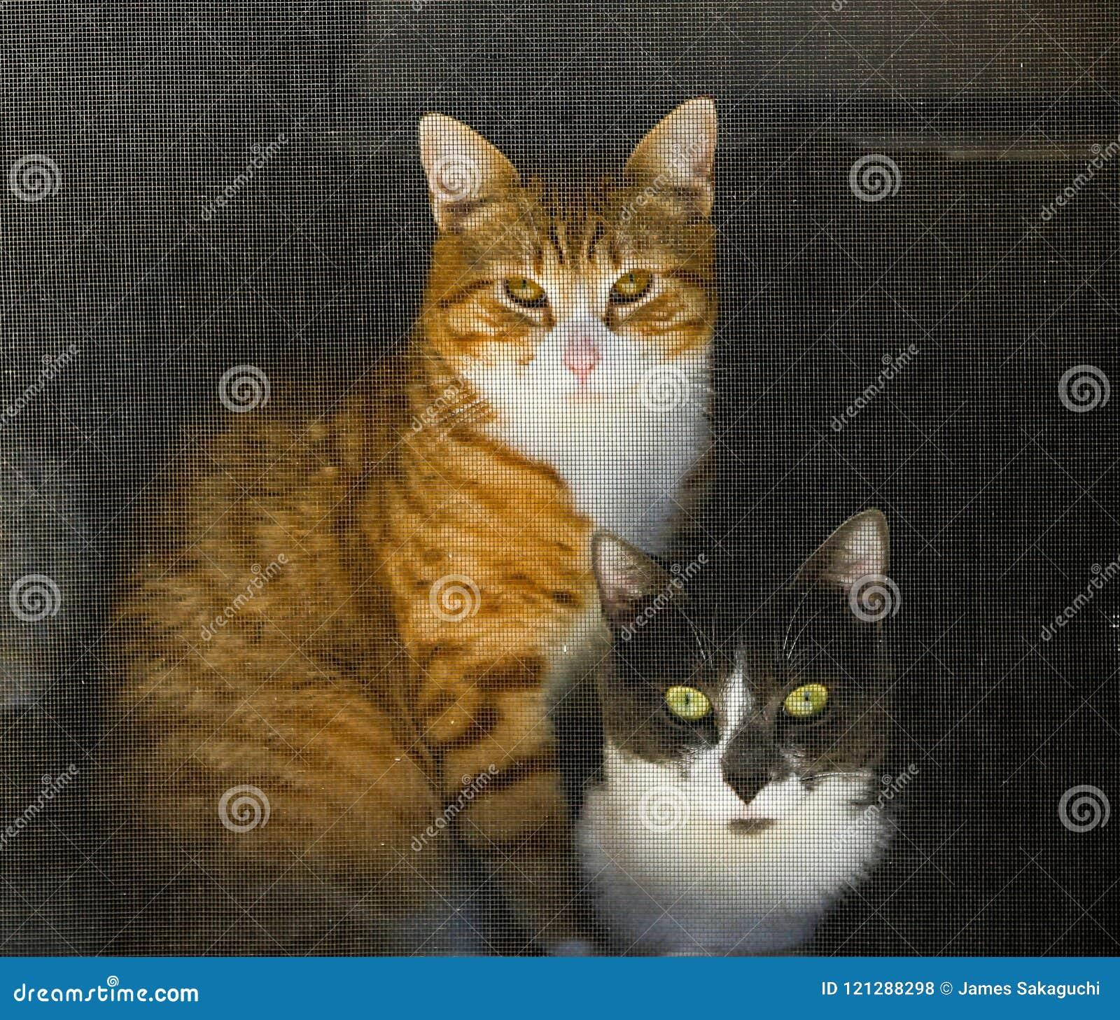 Cats Looking Through A Screen Door Stock Photo Image Of Orange