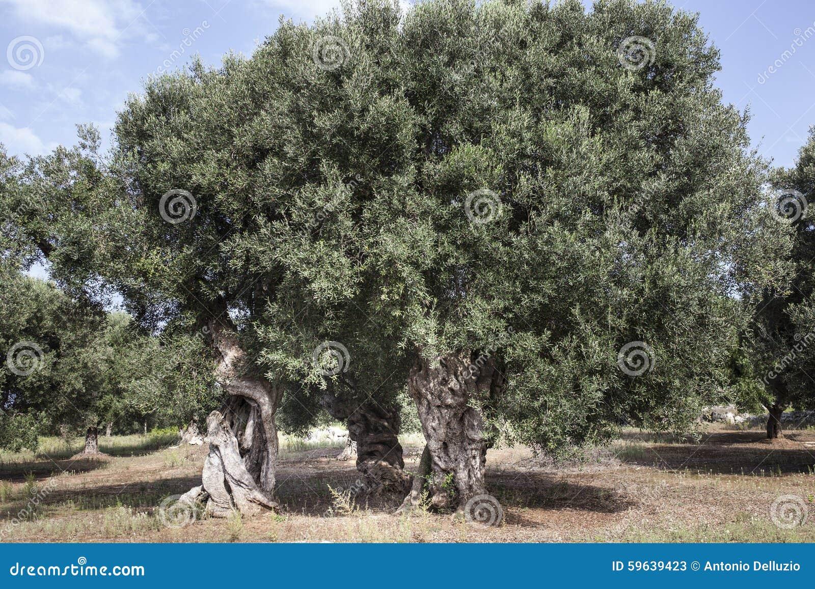 Olives dans Salento et en Puglia