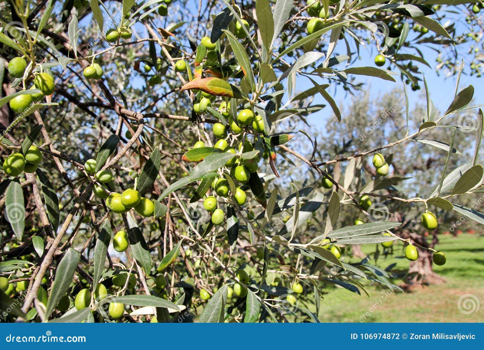 Olives vertes dans une branche d olivier L olivier avec les olives vertes, se ferment  Concept des olives, tradition
