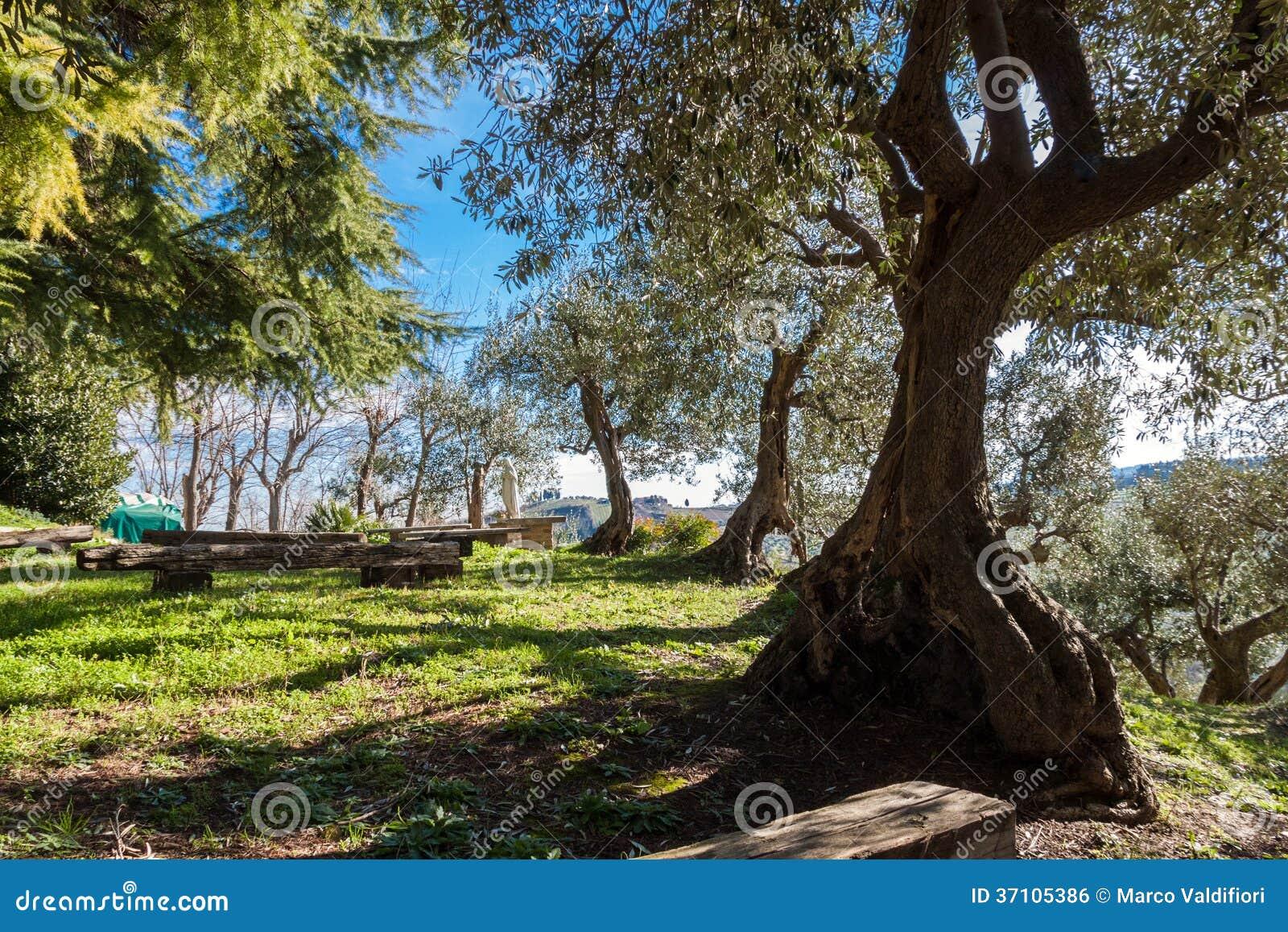 Oliveto antico