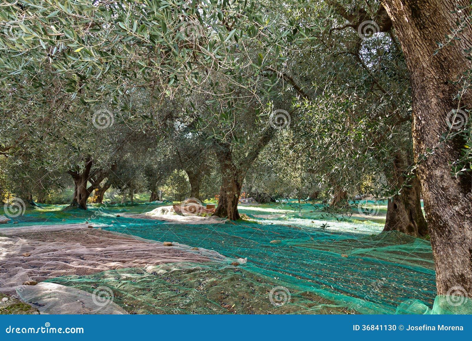 Olivgrön skörd