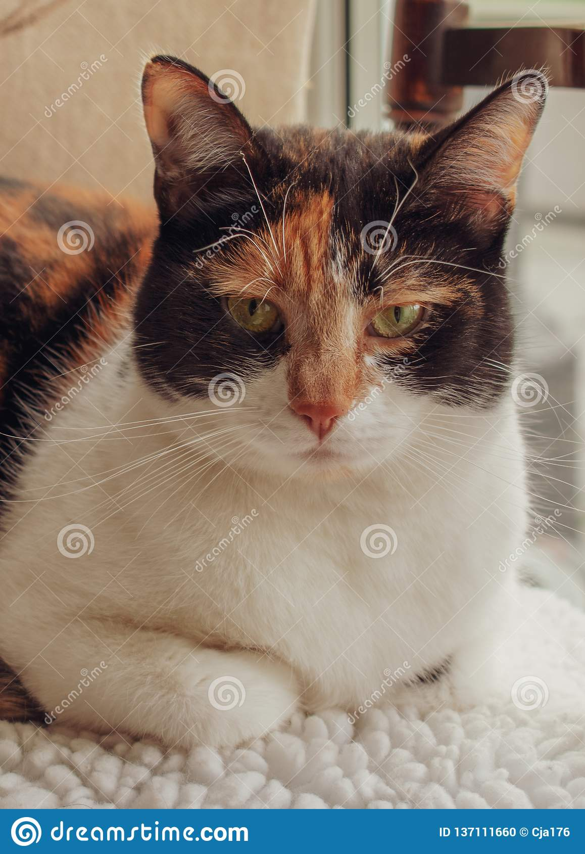 Tortoiseshell calico cat lying on kitchen chair
