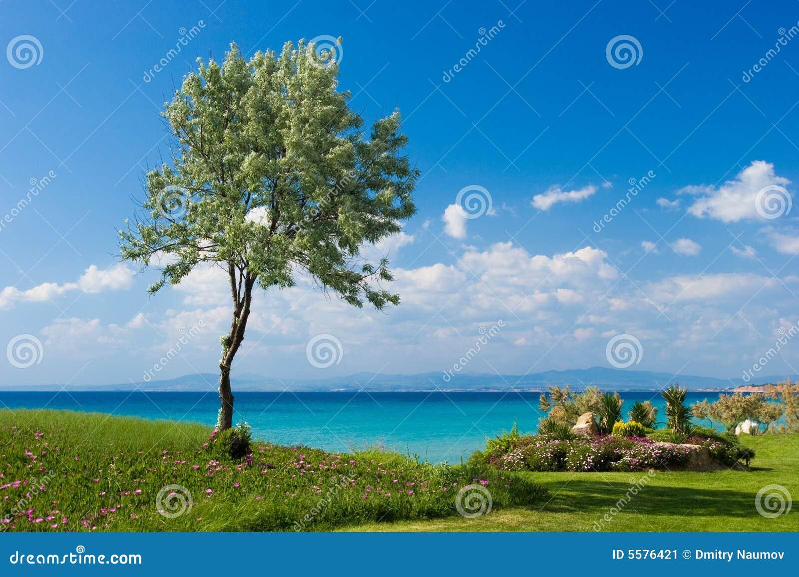 olivier au bord de la mer grec image stock image du compartiment t 5576421. Black Bedroom Furniture Sets. Home Design Ideas