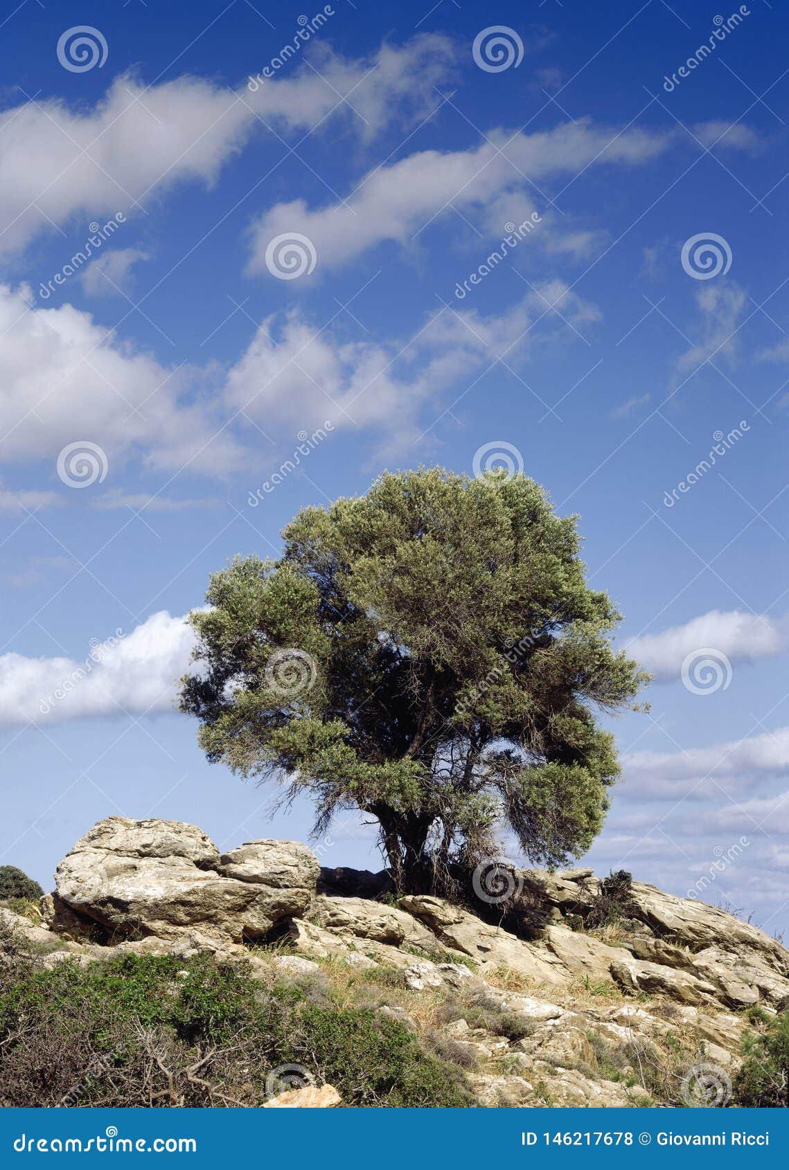 Olivier dans les îles grecques