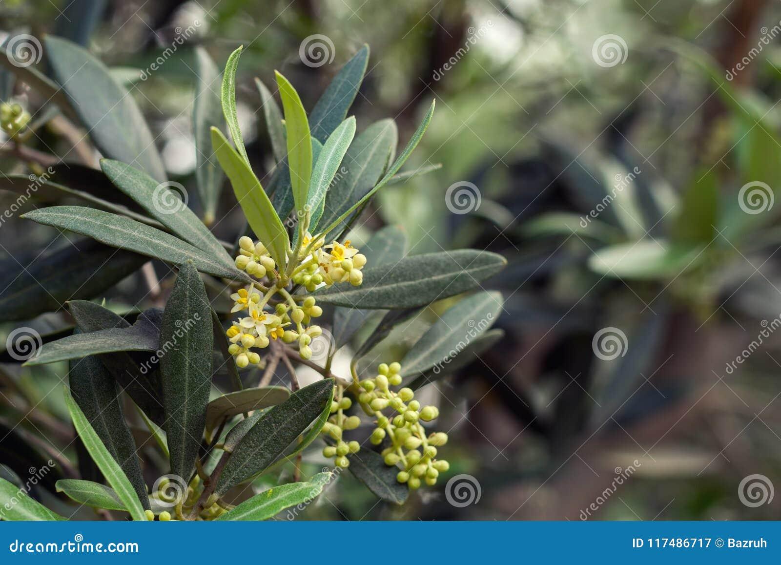 Olivier de floraison image stock. Image du europe, verger - 117486717