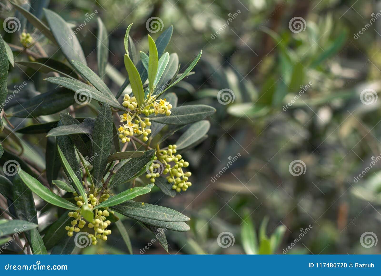 Olivier de floraison photo stock. Image du nature, olive ...