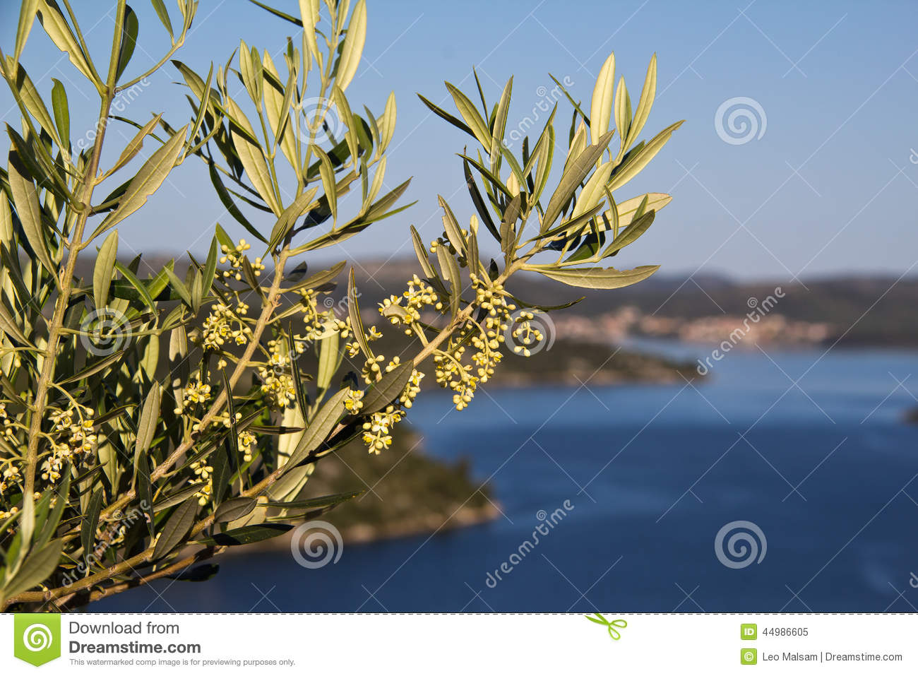 Olivier De Floraison Photo Stock Image 44986605