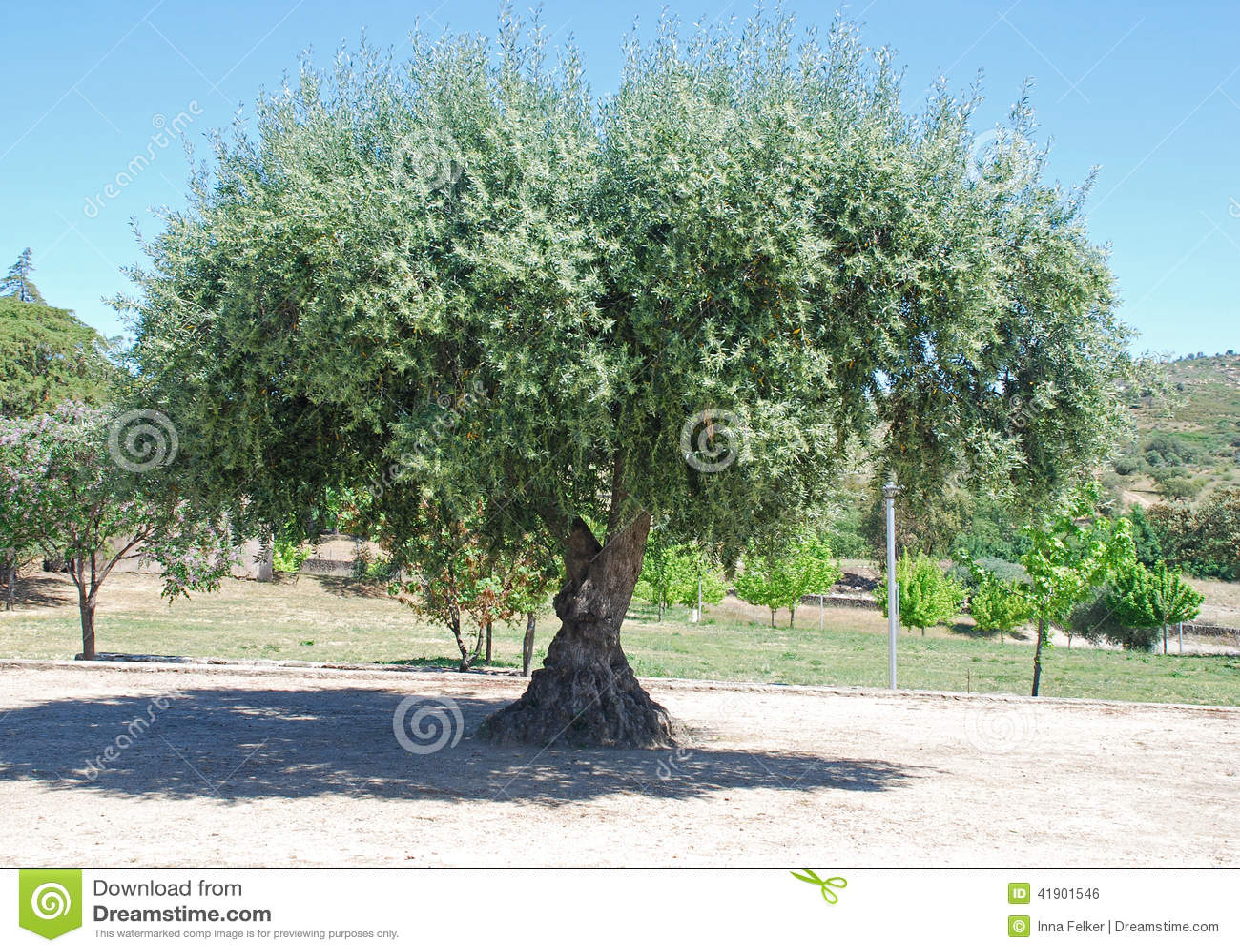 Olivo antiguo