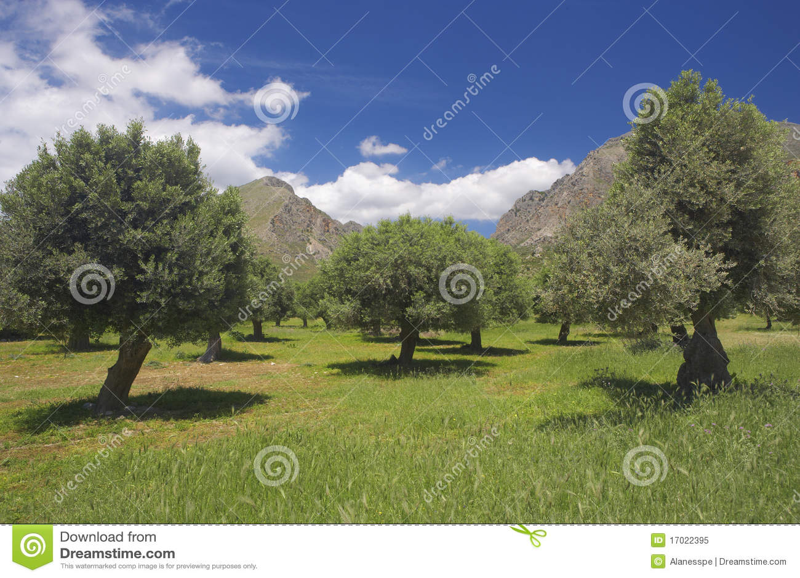 Olivos en crete, Grecia