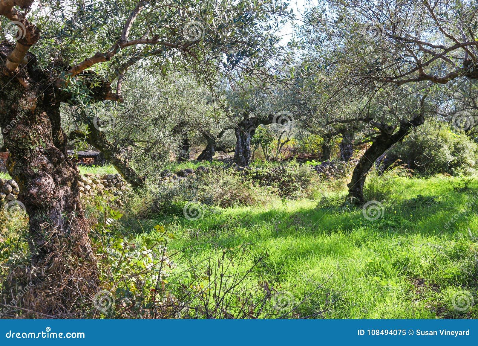Olivos nudosos antiguos con las paredes y las naranjas de la roca en el fondo cerca de Kalamata Grecia