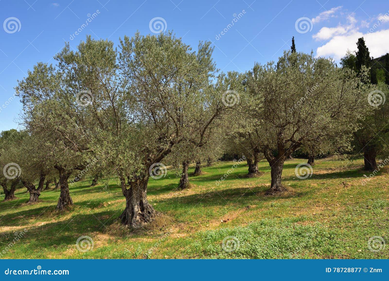 Olivträd dunge, Grekland