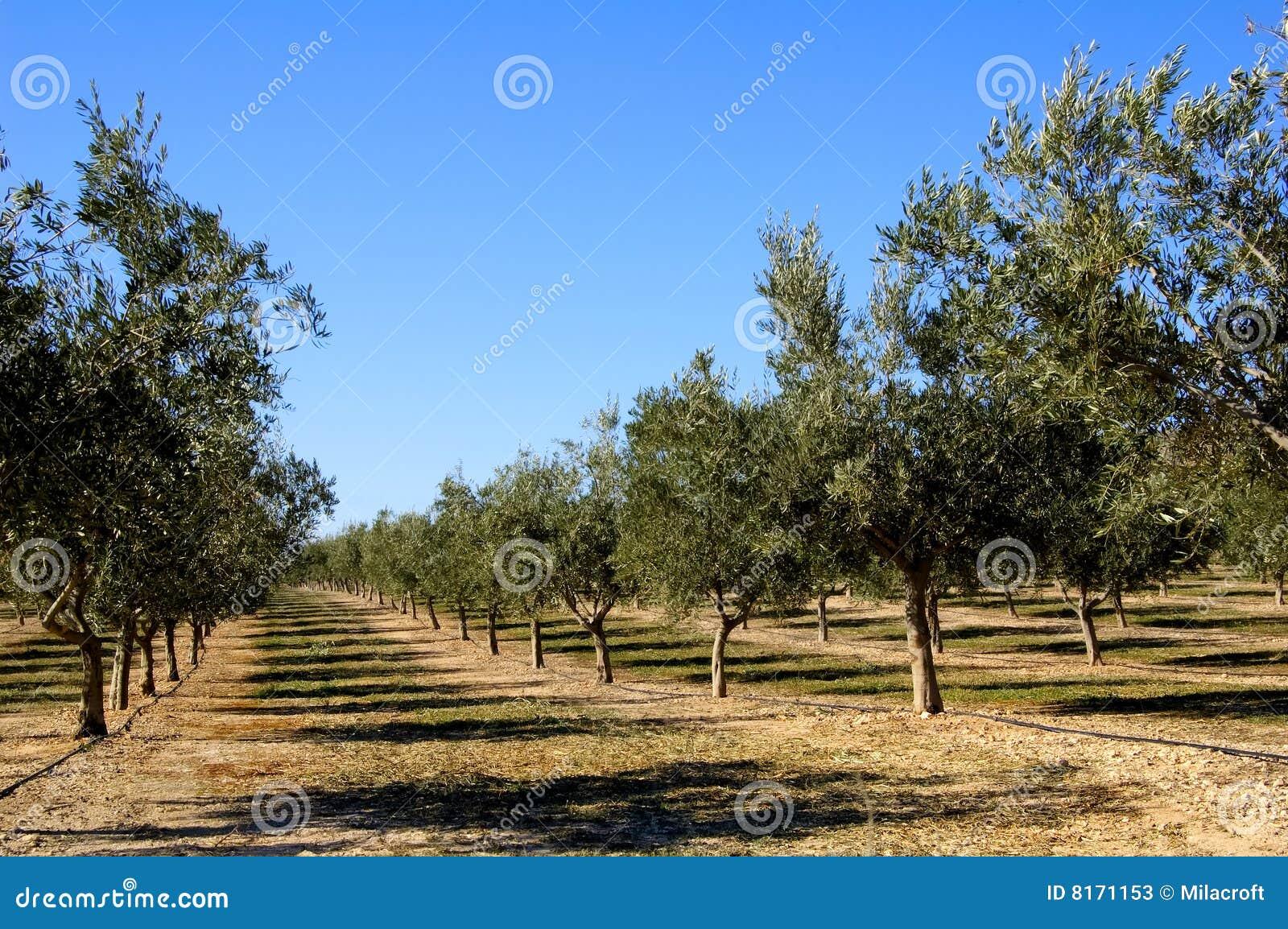 Oliwnej plantaci Spain drzewa