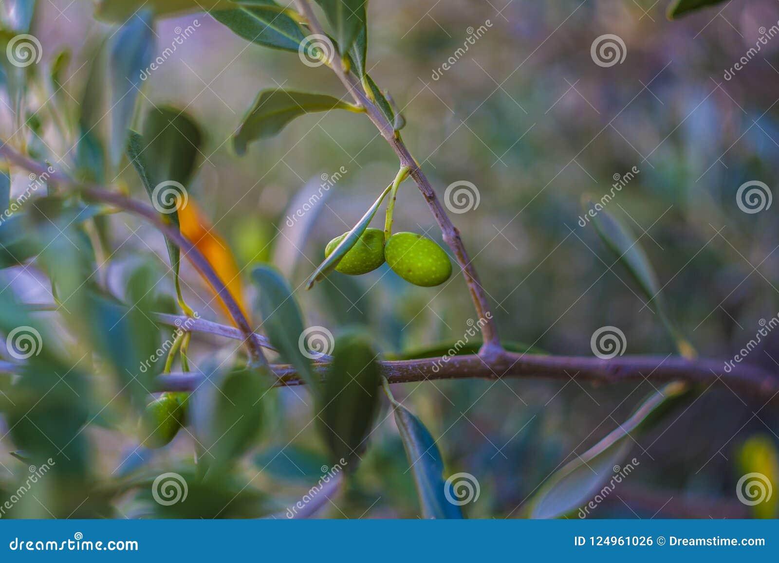 Oliwny acerbe su Albero Di Ulivo secolare