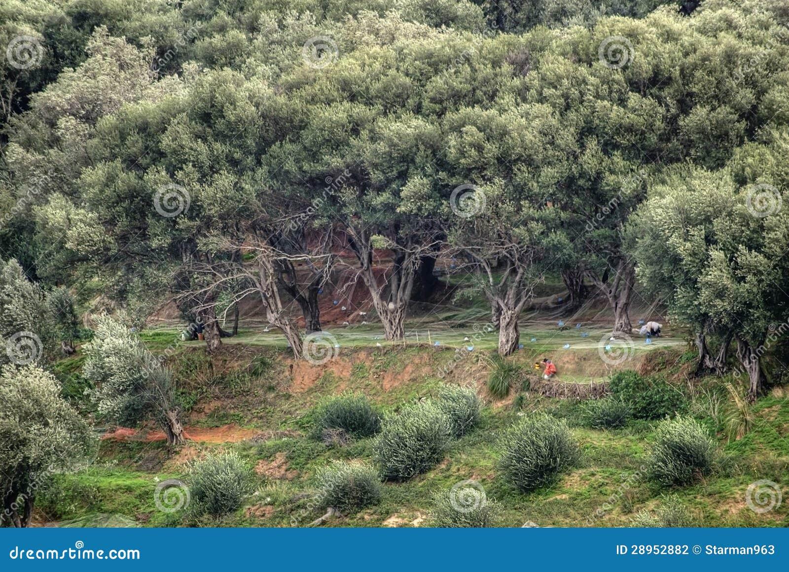 Oliwny zbierać