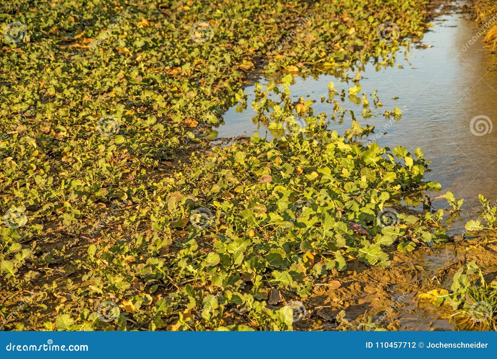 Olje- rädisa, grön gödsel