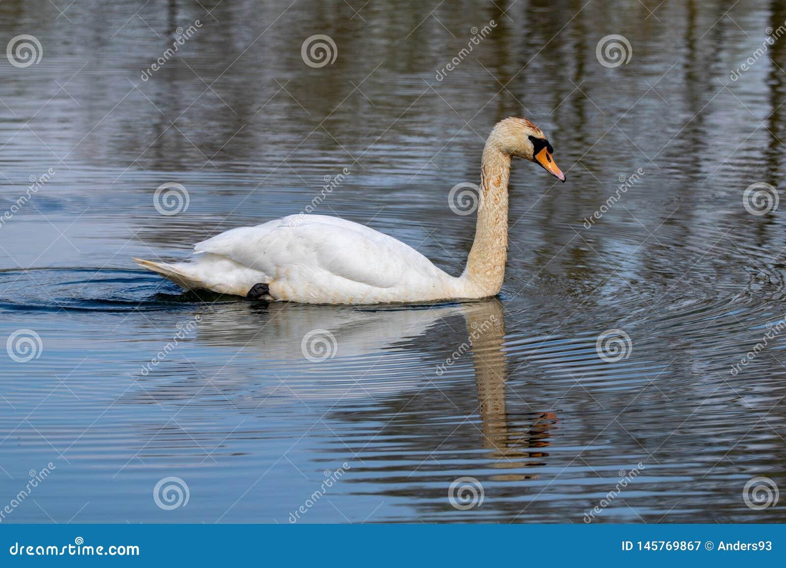 Olor adulto do cygnus da cisne muda com as penas descoloradas do sedimento de perturbação do lago durante a alimentação