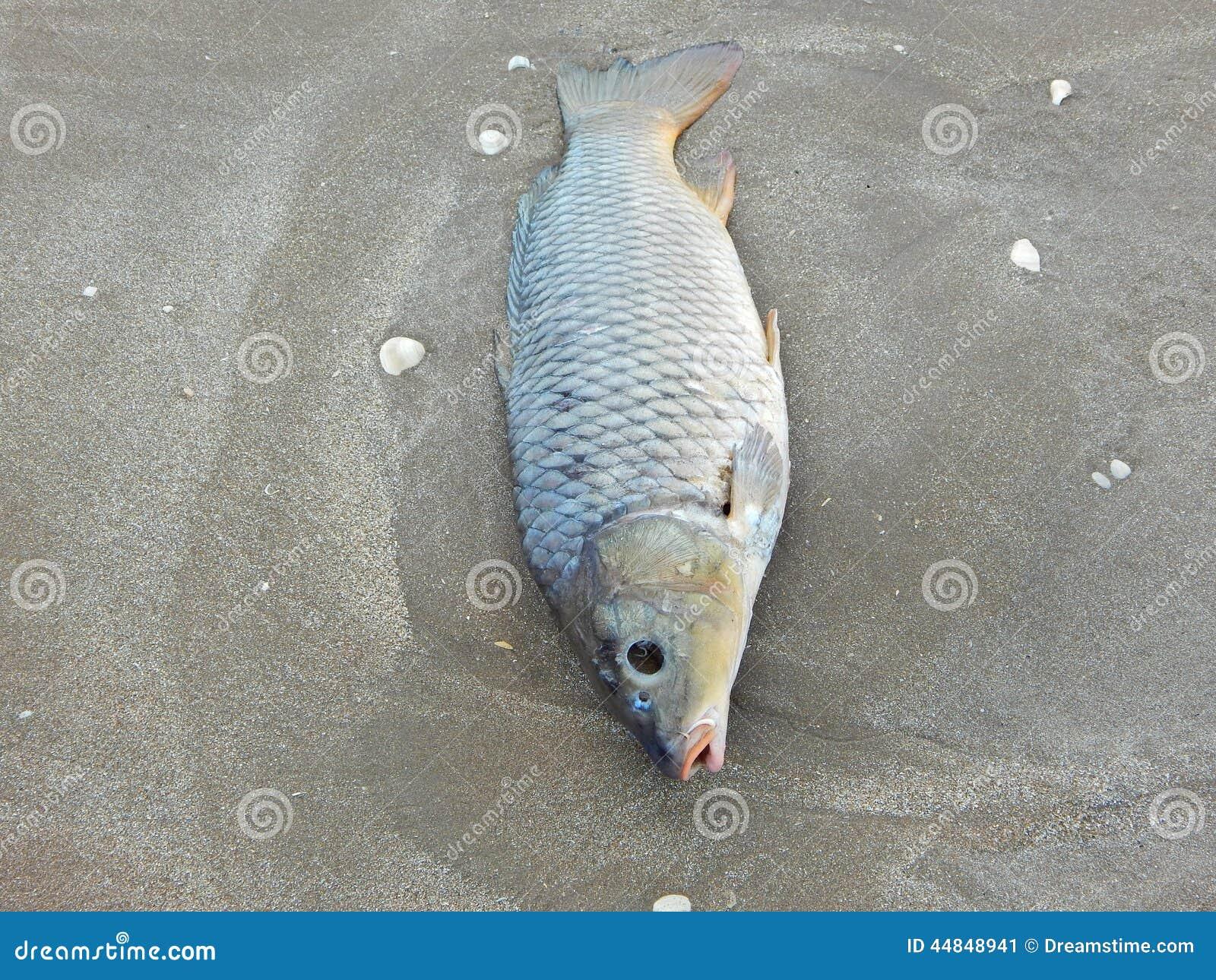 Olyckskorp som är död på stranden