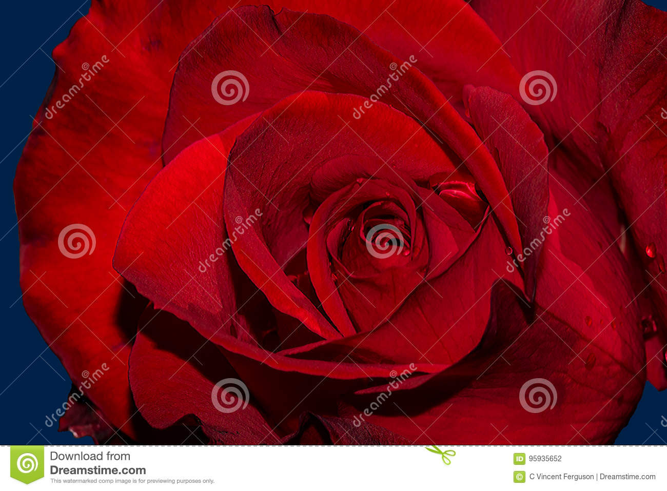 Olympiad Rose stock photo. Image of color, white, transitions - 95935652