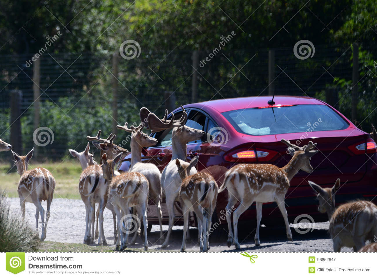 Olympic Game Farm In Sequim Wa Stock Image Image Of Fallow Defuca 96852647
