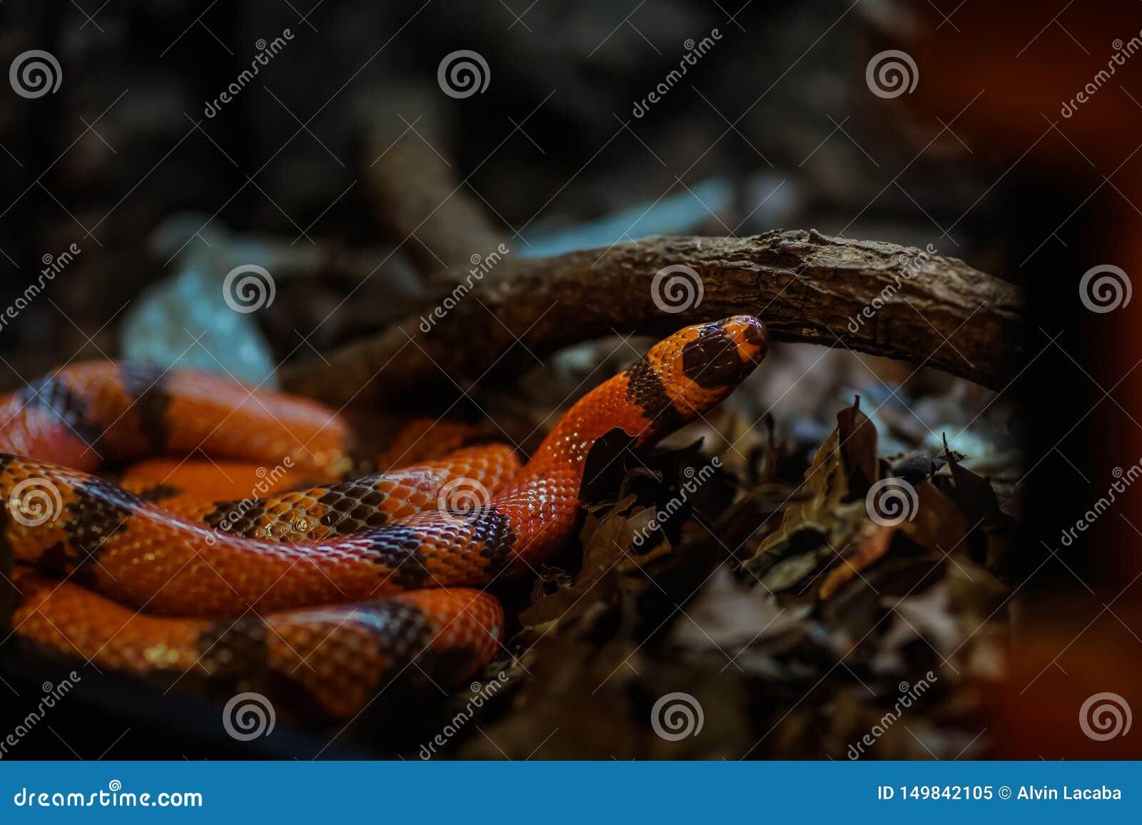 Om te begrijpen wat verschillend tussen een colubrid en een slang is, eerst moet u een inzicht in de wereld van slangen hebben