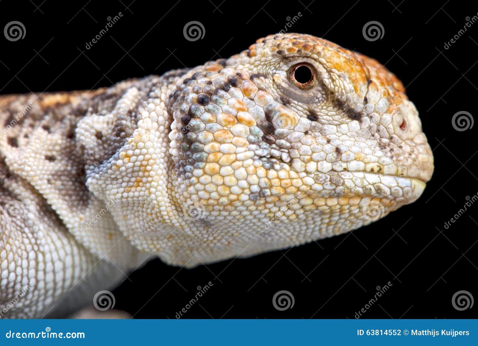 Omaní espinoso-ató el lagarto (el thomasi de Uromastyx)