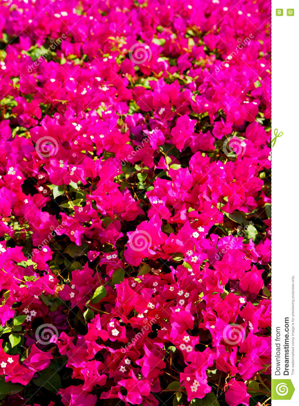 In Oman Flowers And Garden The Spring Colors Stock Photo - Image of ...