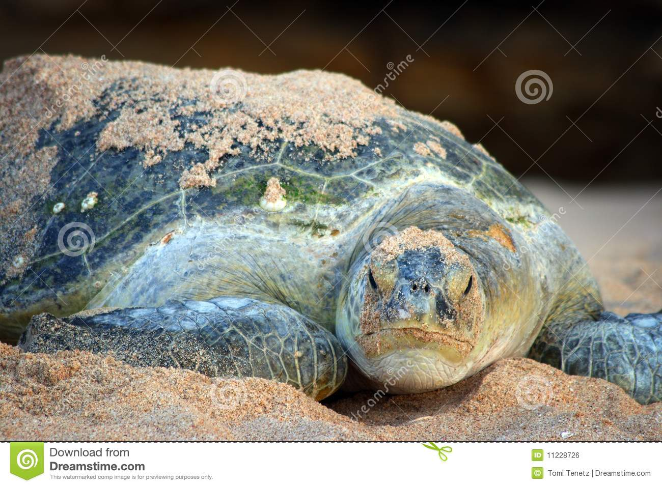 Oman: Green Turtle