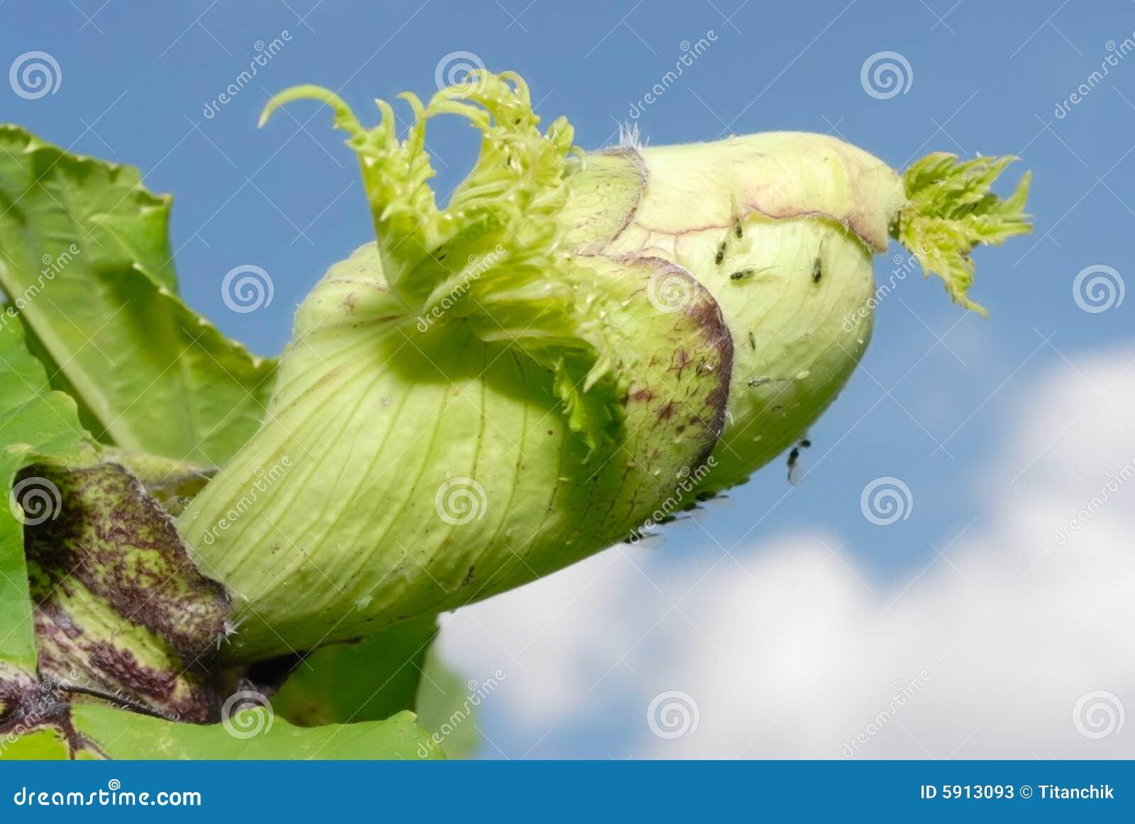 Ombrello della famiglia di pianta dell asta del Heracleum-