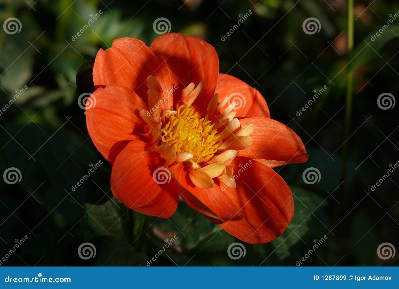 Ombres sur la fleur rouge