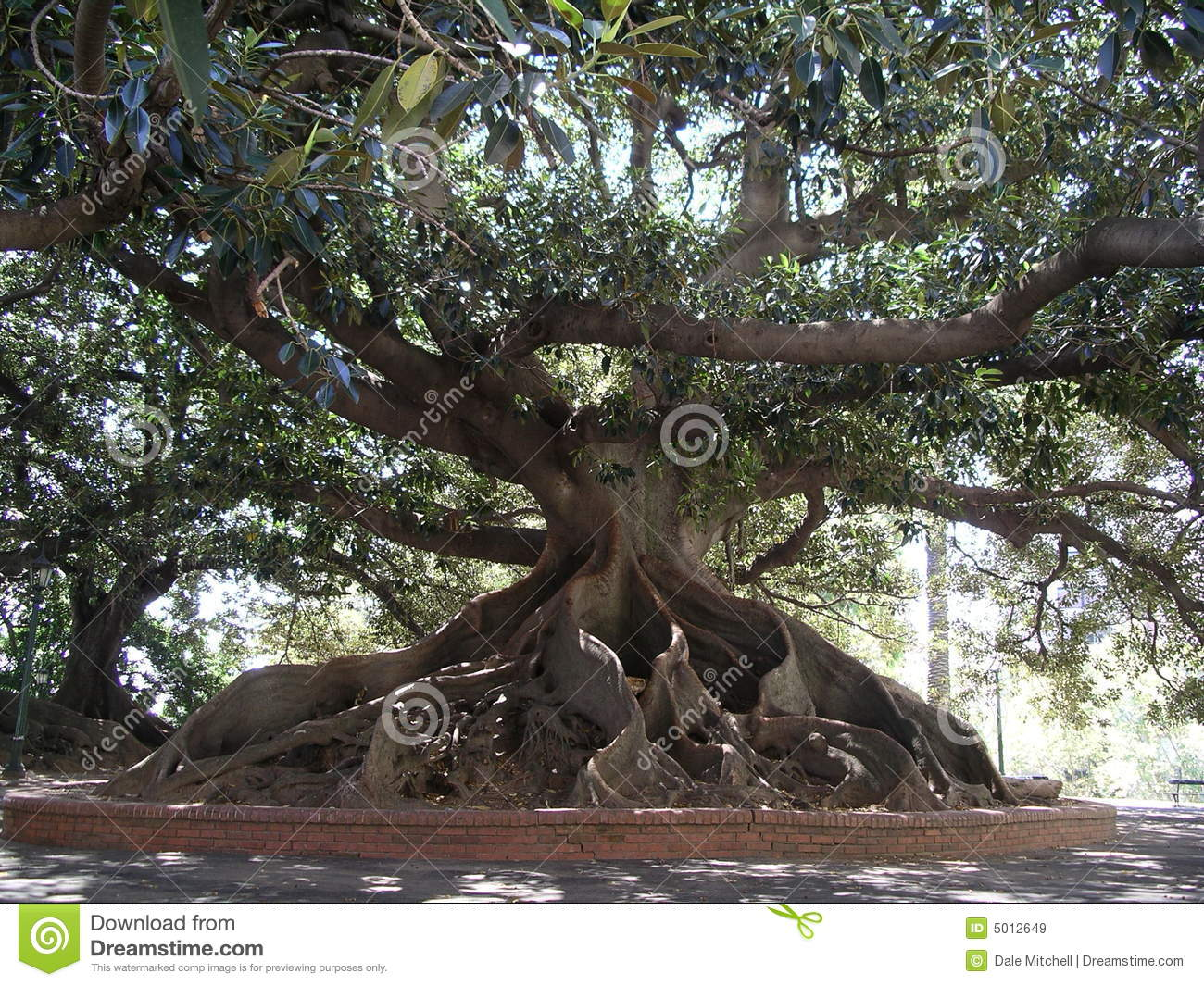 Ombu Tree Stock Image. Image Of Branch, Gray, Area, Roots