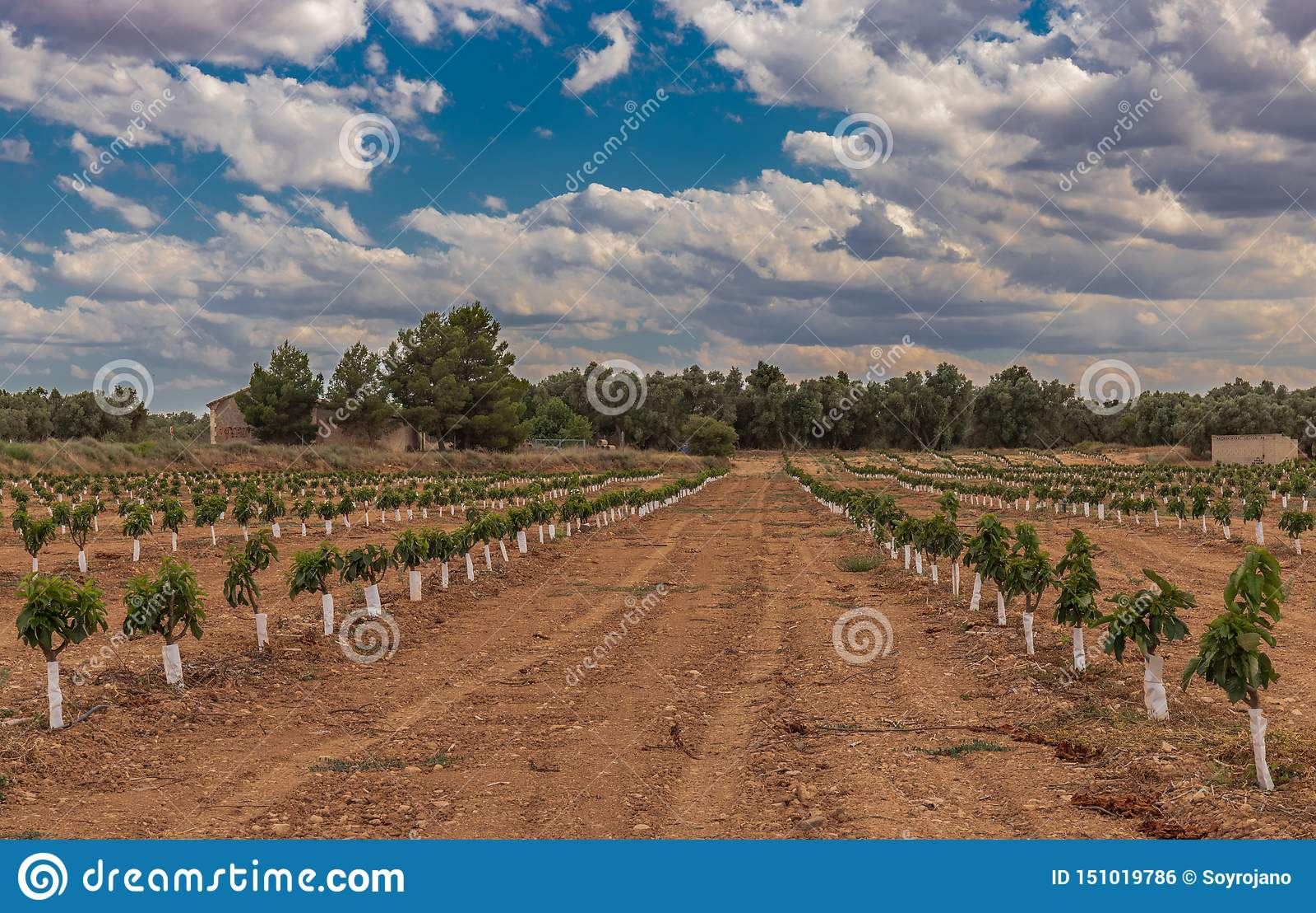 Omfattande jordbruk för körsbärsröda träd för koloni små