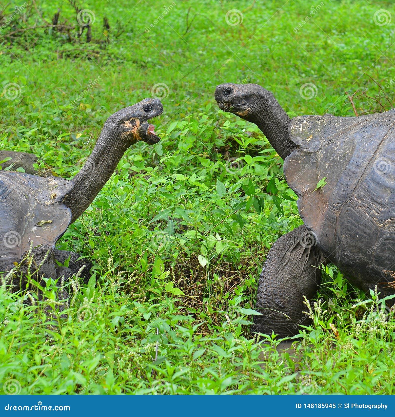 Omhoog sluiten de Reuzeschildpadden van de Galapagos, de Eilanden van de Galapagos