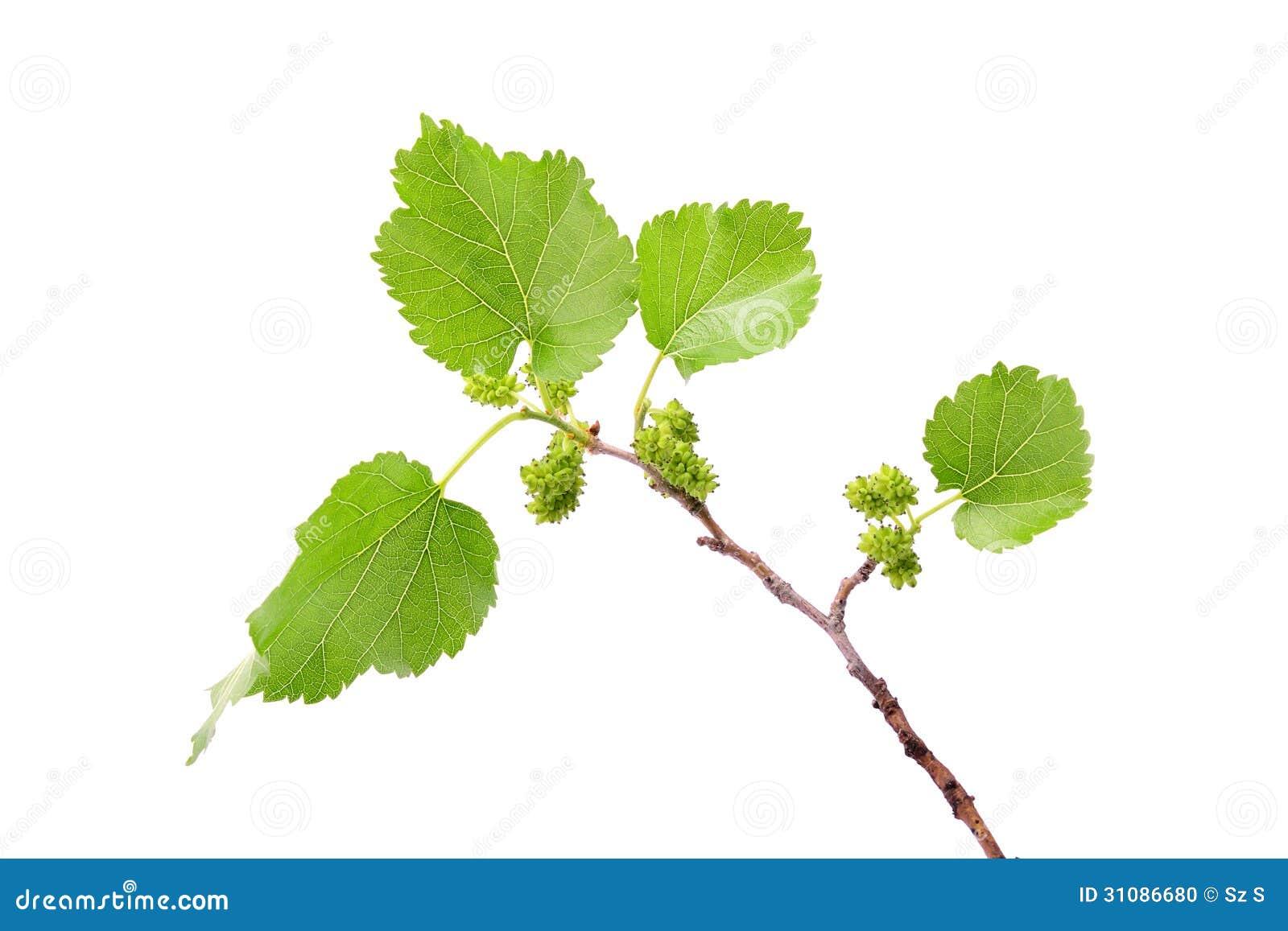 Omogen isolerad mullbärsträdfilial