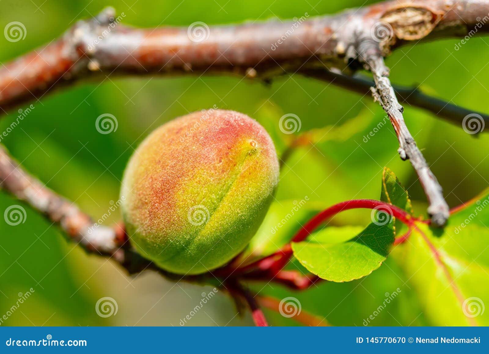 Omogen persika på filialen