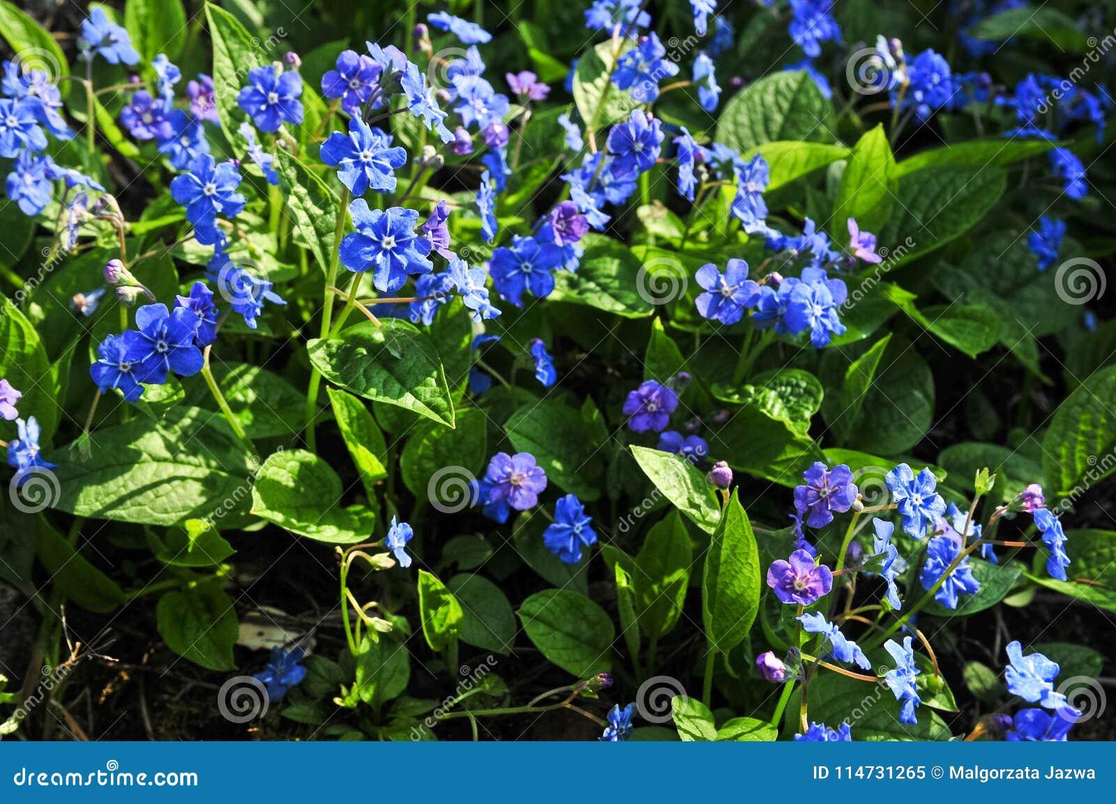 Omphalodes verna common names creeping navelwort or blue eyed mary omphalodes verna common names creeping navelwort or blue eyed mary izmirmasajfo