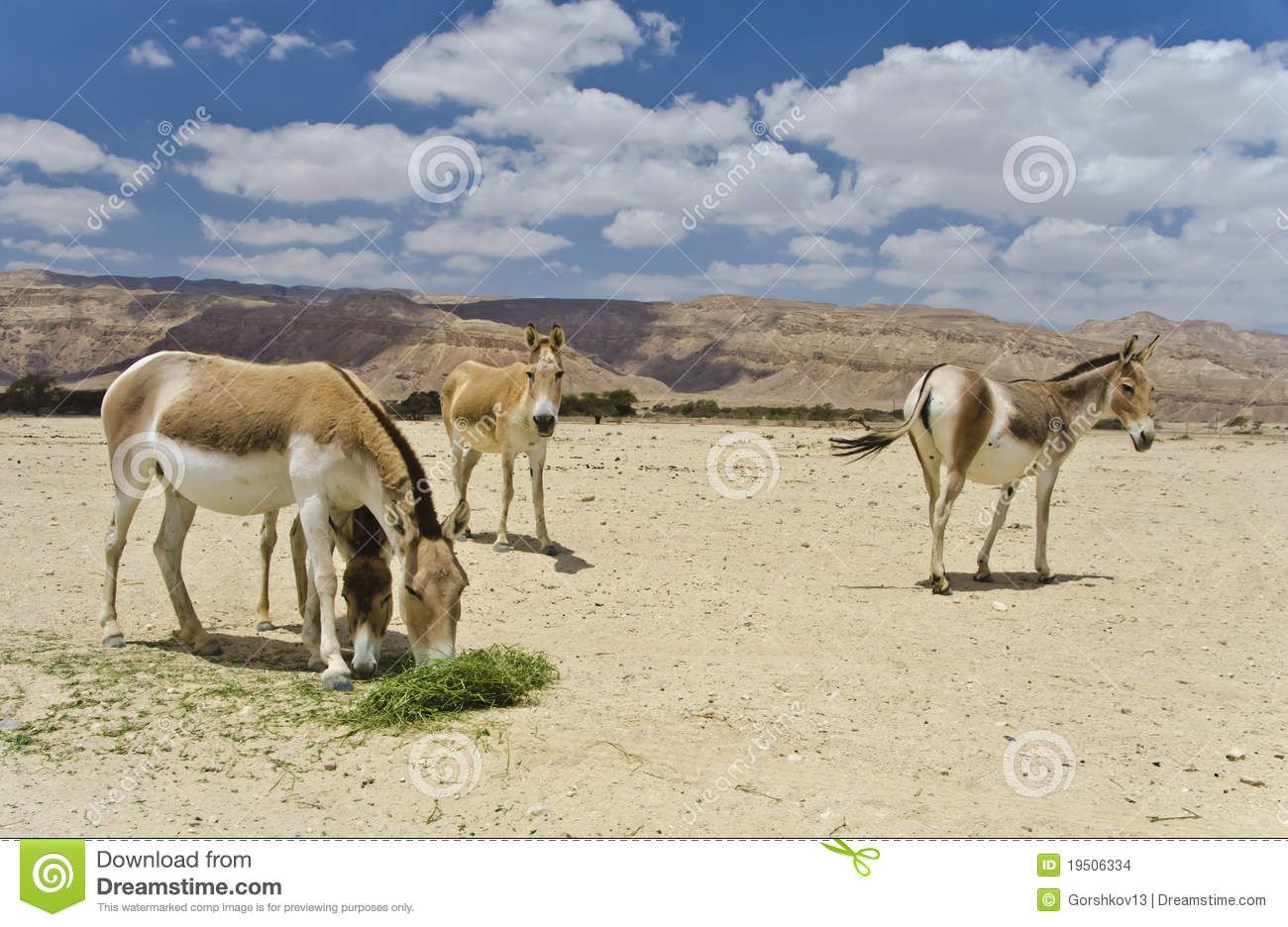 https://thumbs.dreamstime.com/z/onager-ass-negev-desert-israel-19506334.jpg