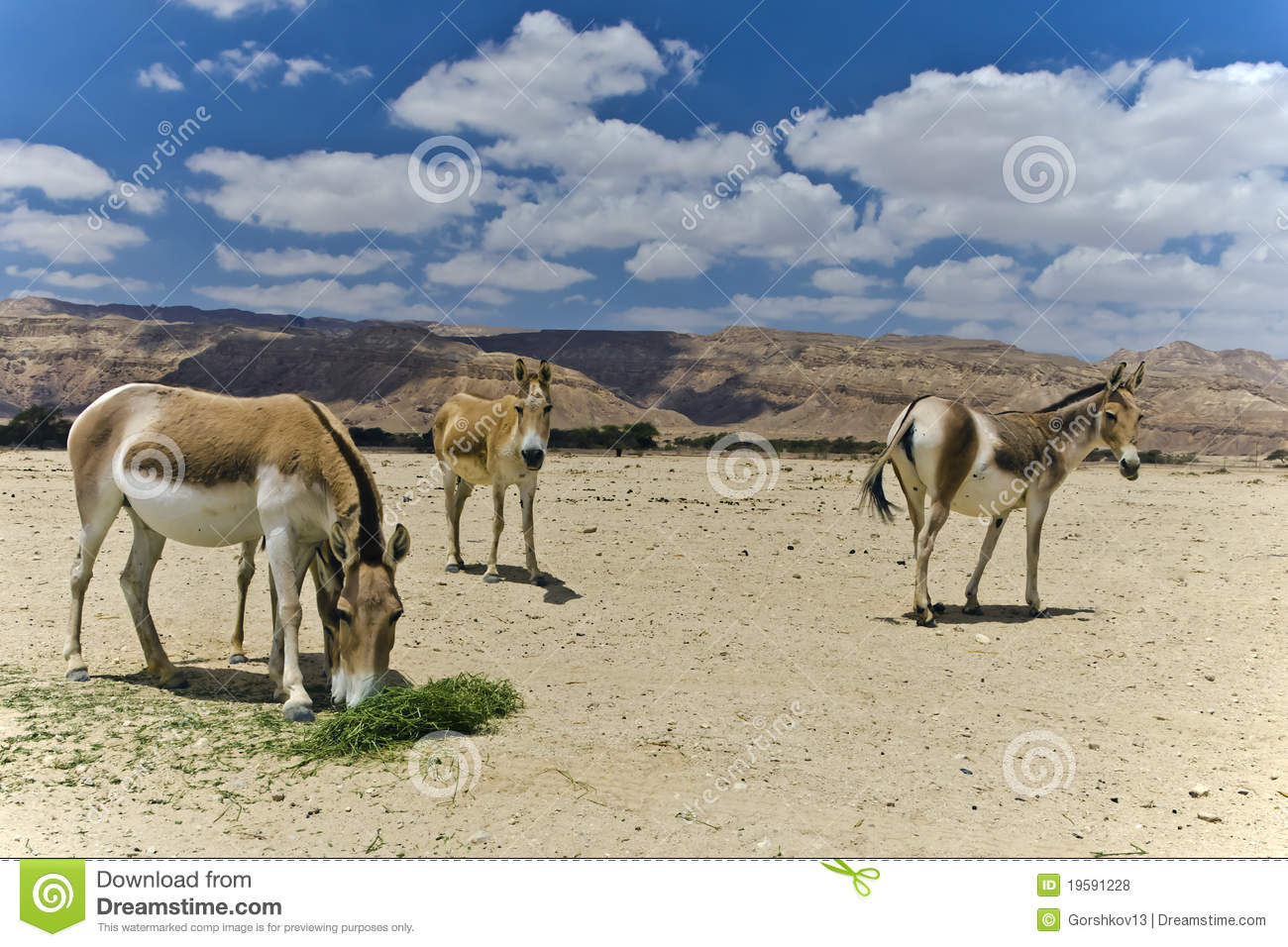 https://thumbs.dreamstime.com/z/onager-ass-negev-desert-israel-19591228.jpg