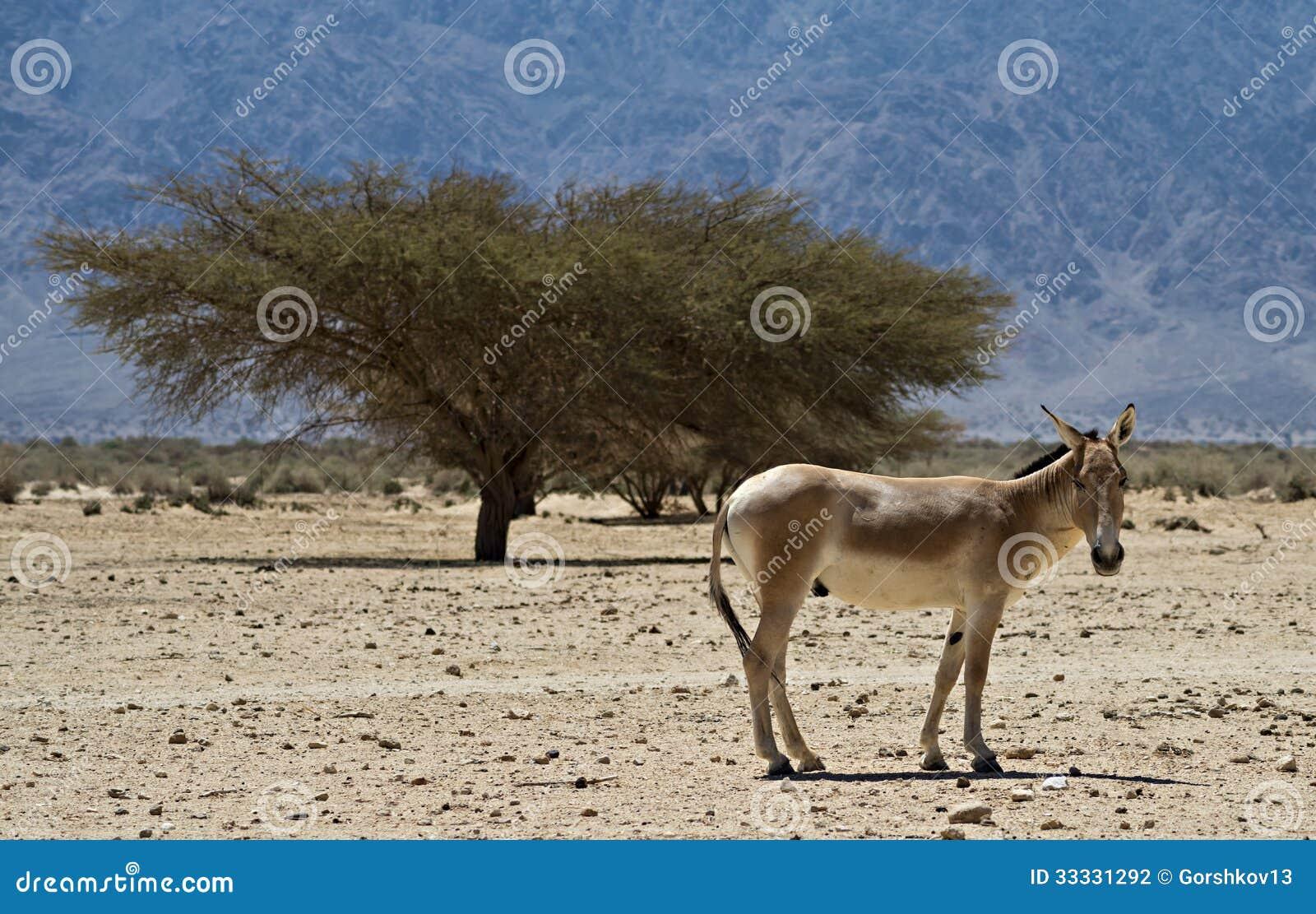 Onager brązu Azjatycki dziki osioł