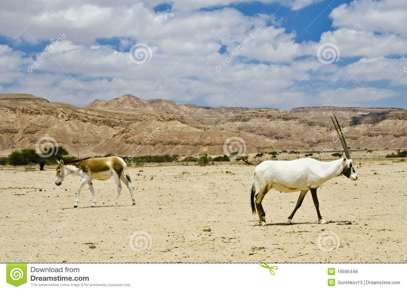 https://thumbs.dreamstime.com/z/onager-oryx-nature-reserve-israel-19595449.jpg