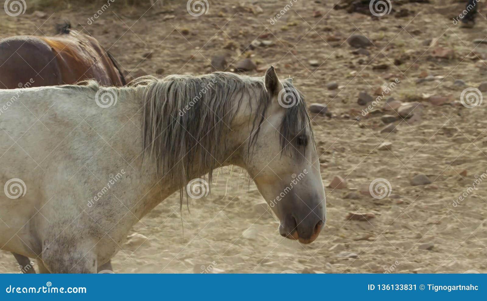 Onaquai野马牧群的一匹野生海湾野马 站立强忍在内华达的沙漠,美国