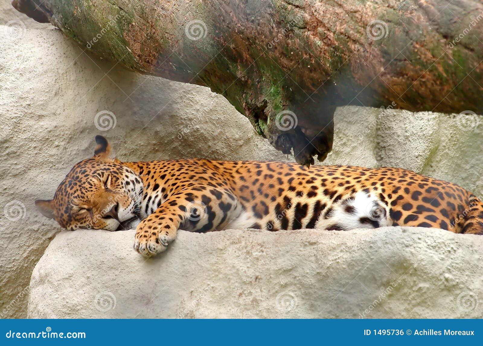 Onca - léopard brésilien