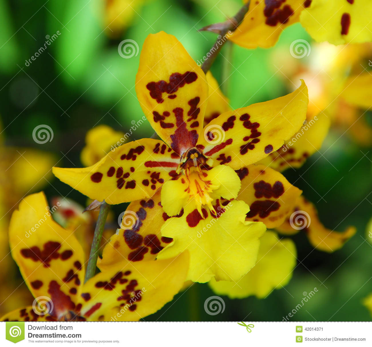 Pro in addition Stock Photo Oncidium Yellow Brown Orchid Flower Bloom Spring Image42014371 as well Oncidium hastilabium in addition Pic11 as well 3214584778. on oncidium orchid