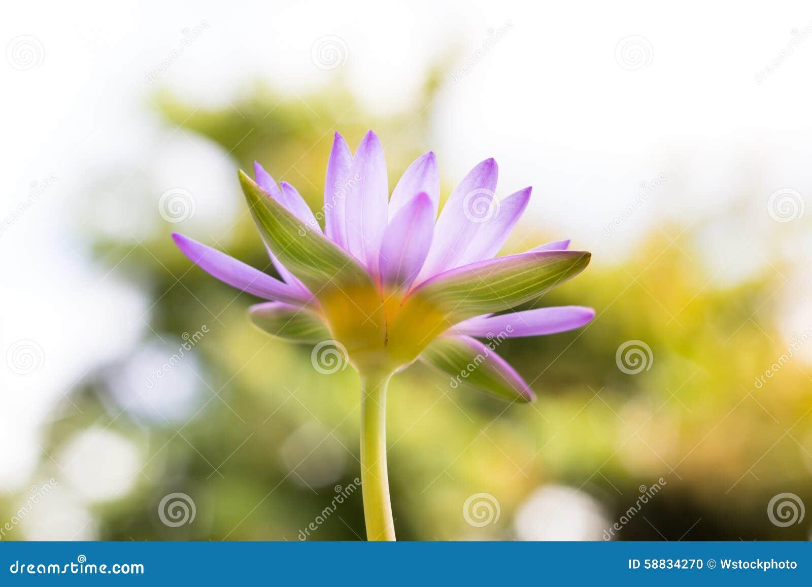 Onder bloem of de waterlelie van menings de mooie purpere Lotus bij het onduidelijke beeld B