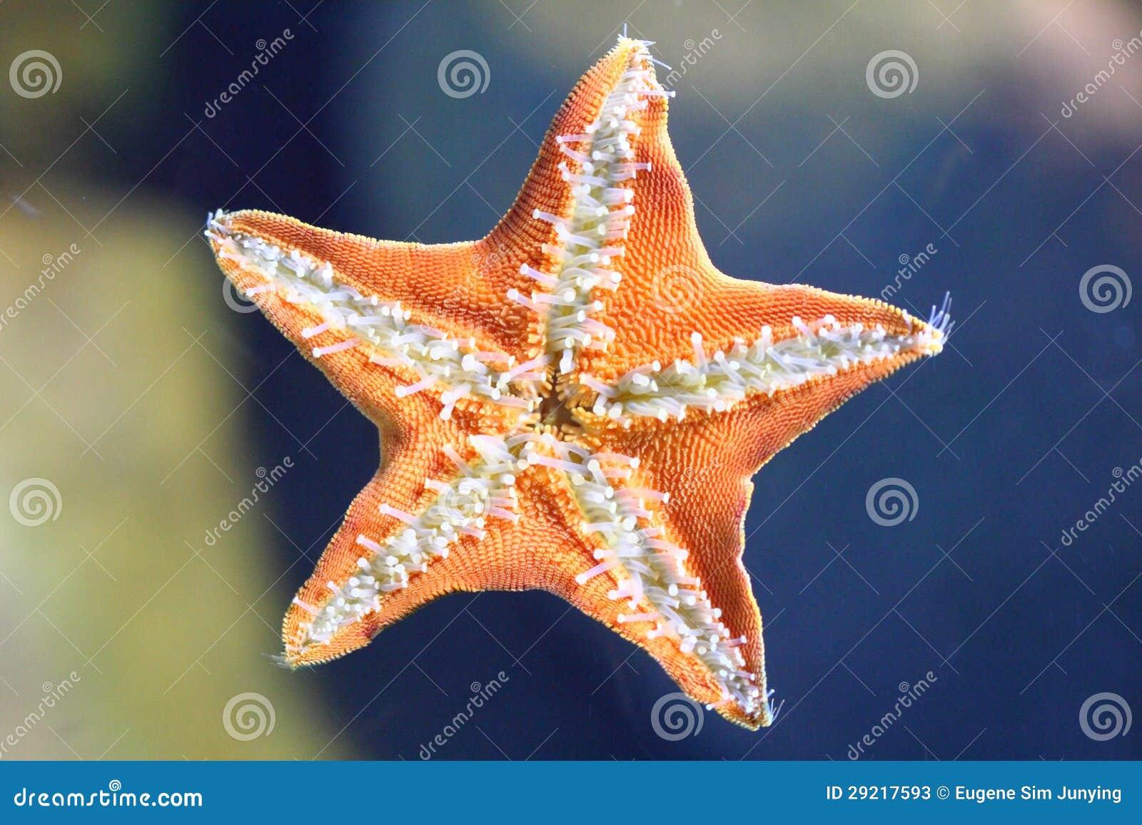 Onderkant van de zeester stock afbeelding afbeelding bestaande uit overzees 29217593 - Van de ignum sanijura ...