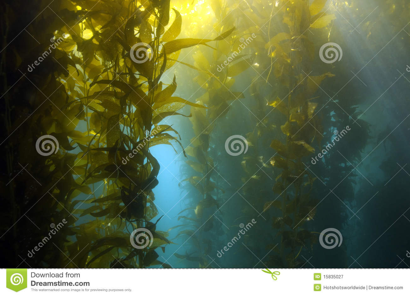 Onderwater kelpbos, het eiland van Catalina, Californië