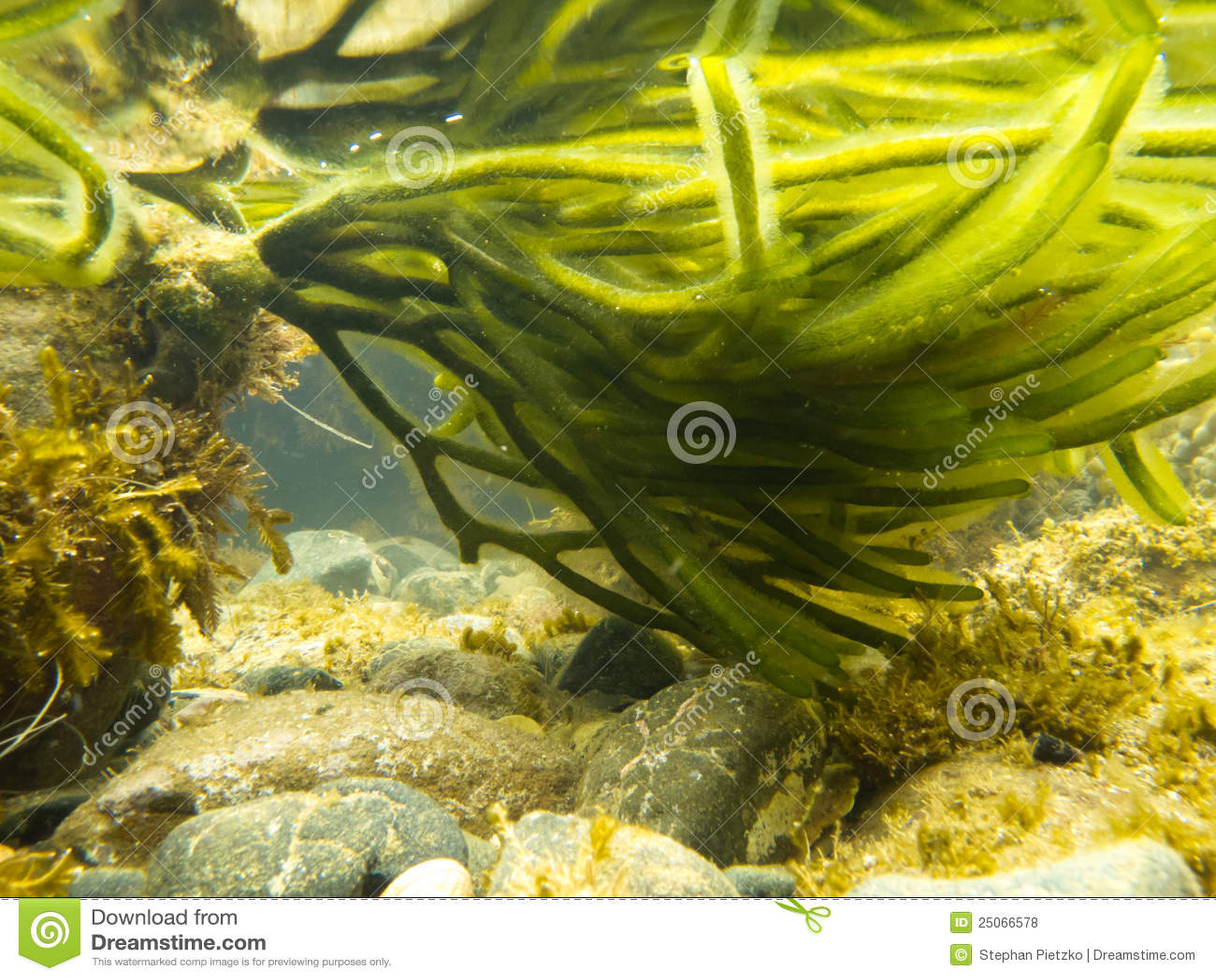 Onderwater schot van groen zeewier in bijlage aan rots stock foto afbeelding 25066578 - Groen behang van het water ...