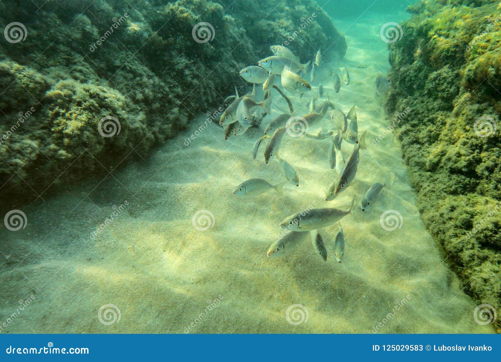 Onderwaterfoto, groep kleine vissen die tussen algen c zwemmen