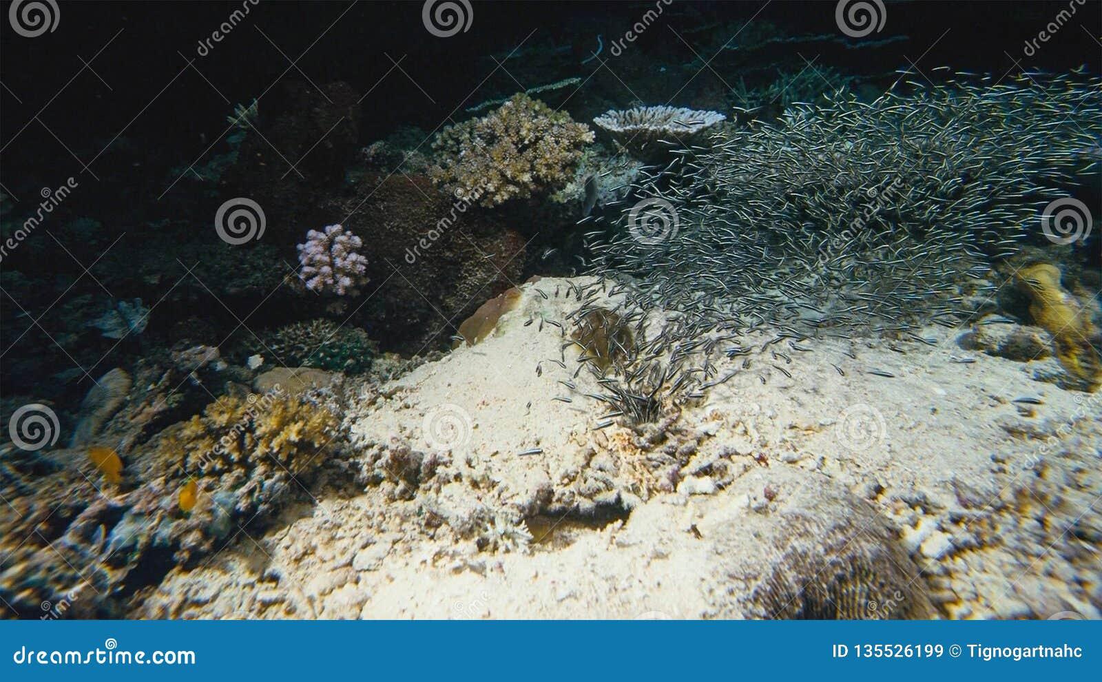 Onderzeese boehlkeiblackline van Thayeria van de pinguïn tetrazwerm penguinfish