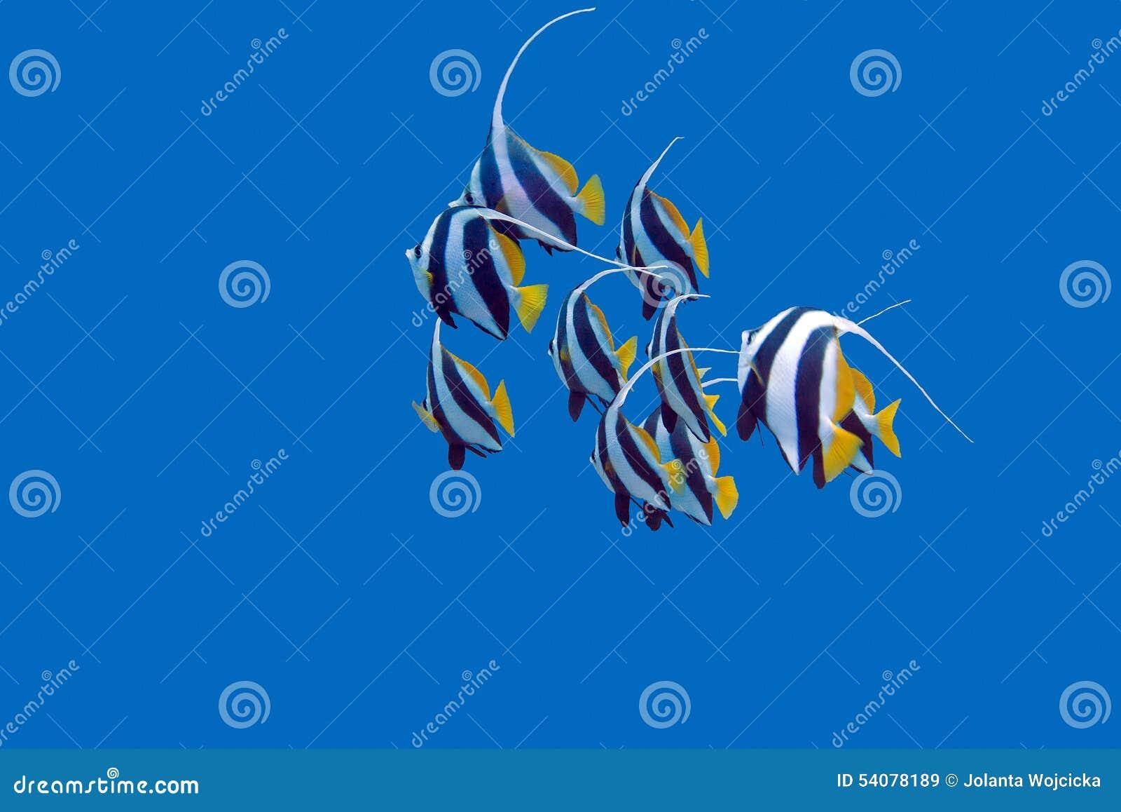 Ondiepte van bannerfishes in tropische overzees, onderwater